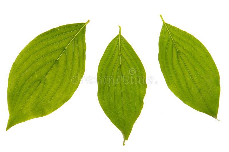 Folha da cereja de cornalina foto de stock