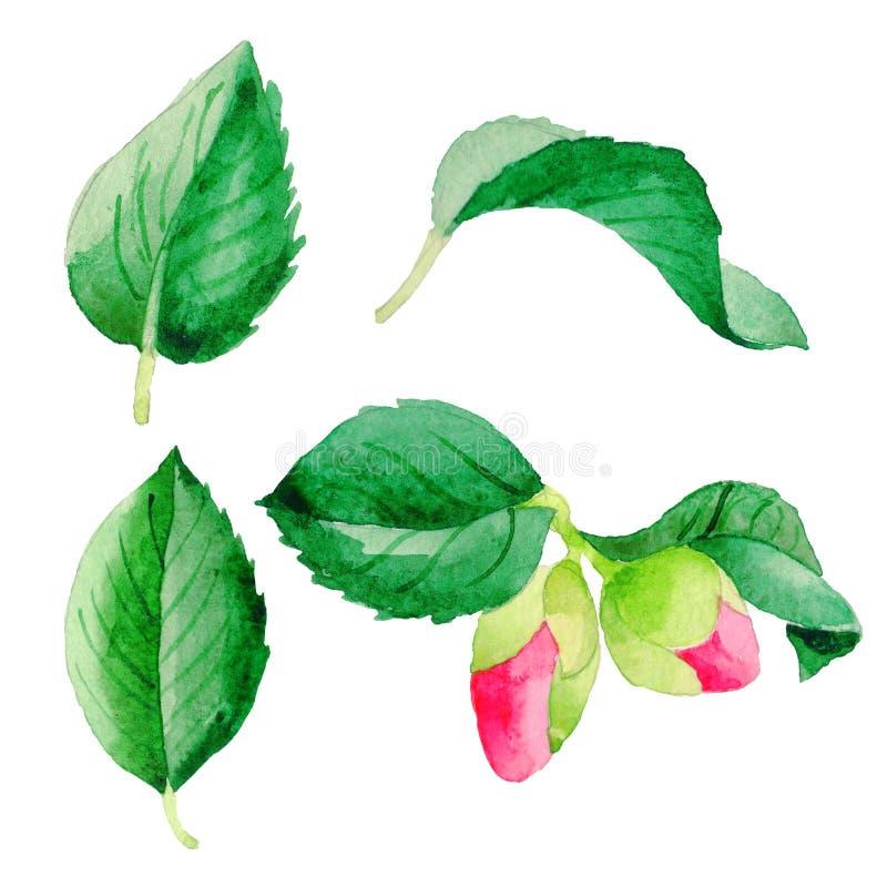 Folha da flor de Camellia Japanese do Wildflower em um estilo da aquarela isolada ilustração royalty free