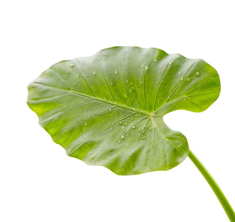 A folha da flor do lírio de calla com água deixa cair no fundo branco fotografia de stock royalty free