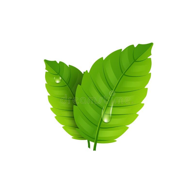Folha da hortelã fresca Aroma saudável do mentol do vetor Planta erval da natureza Folhas verdes da hortelã ilustração stock