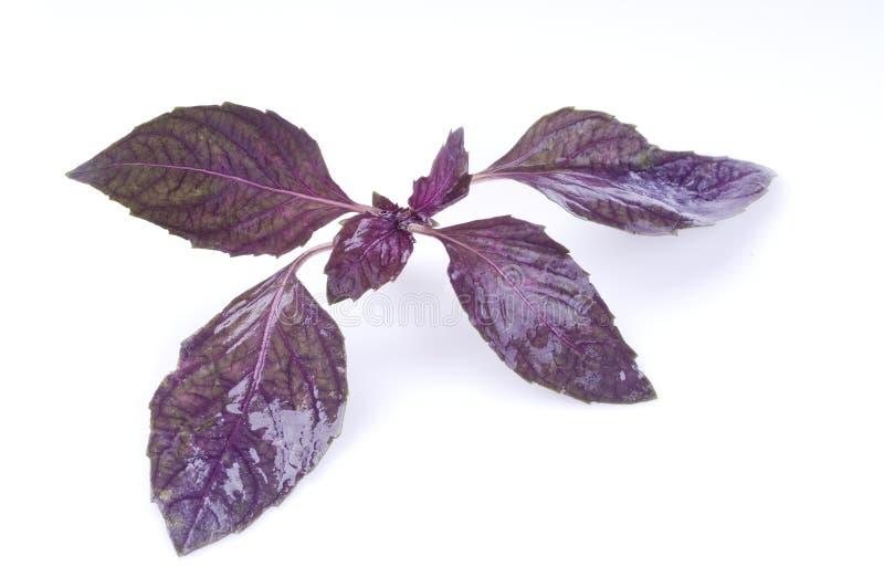 Folha da manjericão isolada no branco foto de stock