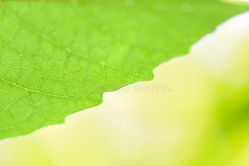 Folha da natureza do sumário no foco macio da luz solar bonita da árvore e fundo verdes do borrão/próximo verde acima das folhas  imagens de stock