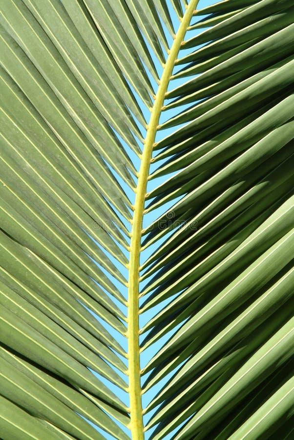 Folha da palmeira fotos de stock royalty free