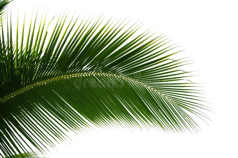 Folha da palmeira do coco isolada foto de stock