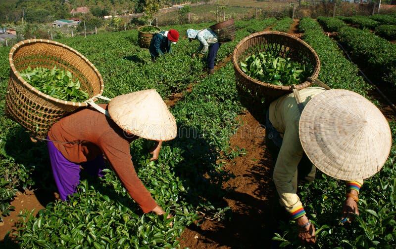 Folha da picareta da máquina desbastadora do chá na plantação agrícola foto de stock royalty free
