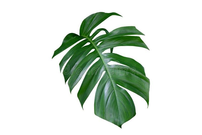 Folha da planta de Monstera, a videira sempre-verde tropical isolada no fundo branco fotos de stock royalty free