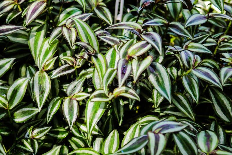 Folha da planta da polegada, zebrina do Tradescantia, plantas decorativas imagem de stock royalty free
