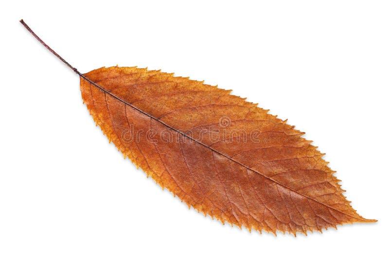 Folha da queda do marrom do outono isolada no branco, maneira no trajeto fotos de stock