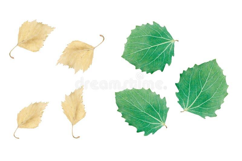 Folha da ?rvore de vidoeiro isolada no fundo branco foto de stock