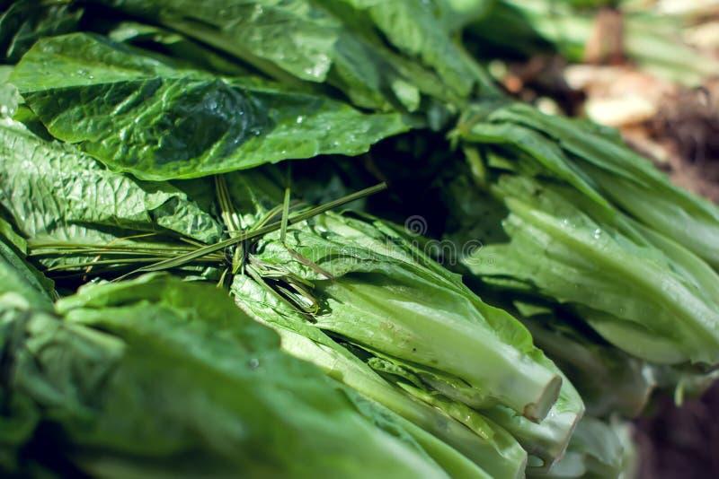 Folha da salada Planta da salada da alface, folhas vegetais hidropônicas no mercado imagens de stock royalty free