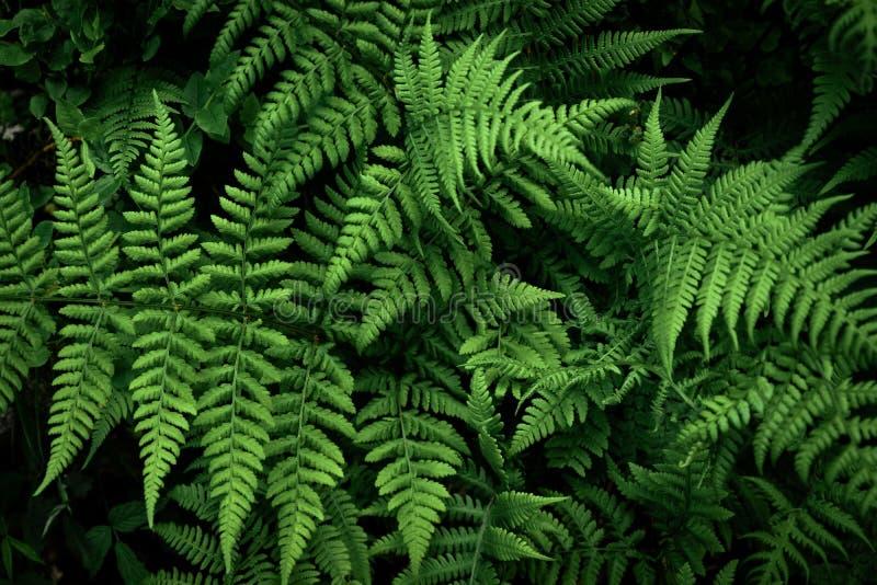 Folha da samambaia, folha decorativa Floresta escura com grandes folhas imagens de stock