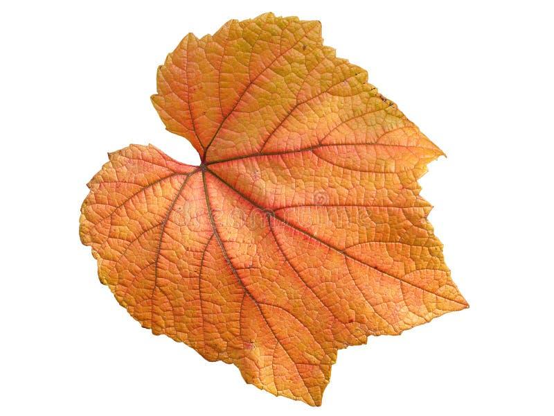 Folha da videira no outono imagens de stock
