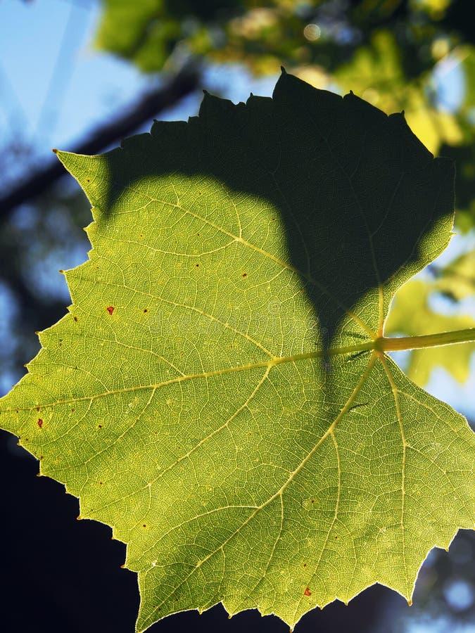 Folha da vinha com luz solar imagens de stock
