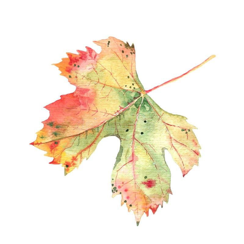 Folha da vinha do outono isolada no fundo branco Aquarela botânica Única folha ilustração stock