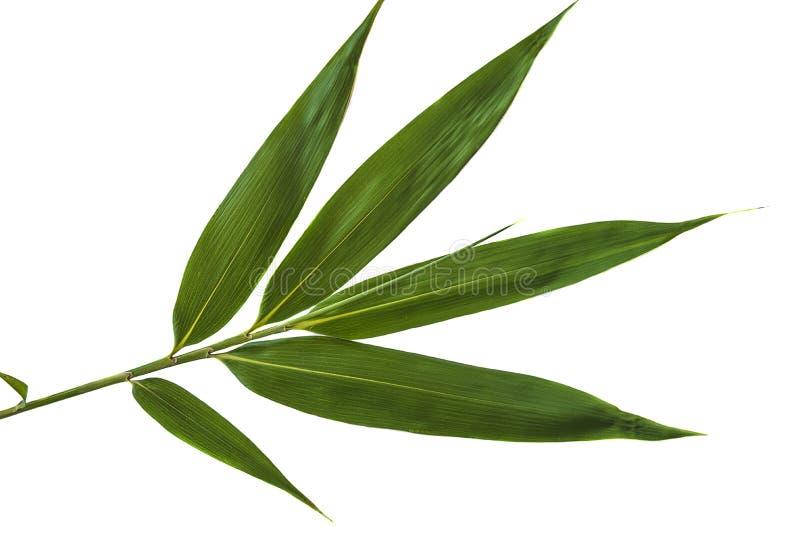 Folha de bambu verde imagem de stock