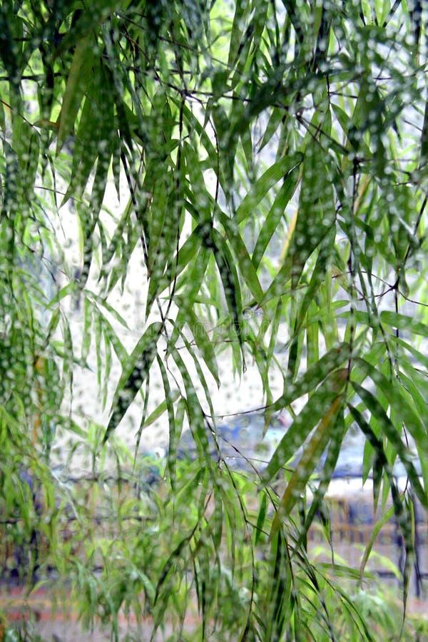 Folha de bambu verde foto de stock royalty free
