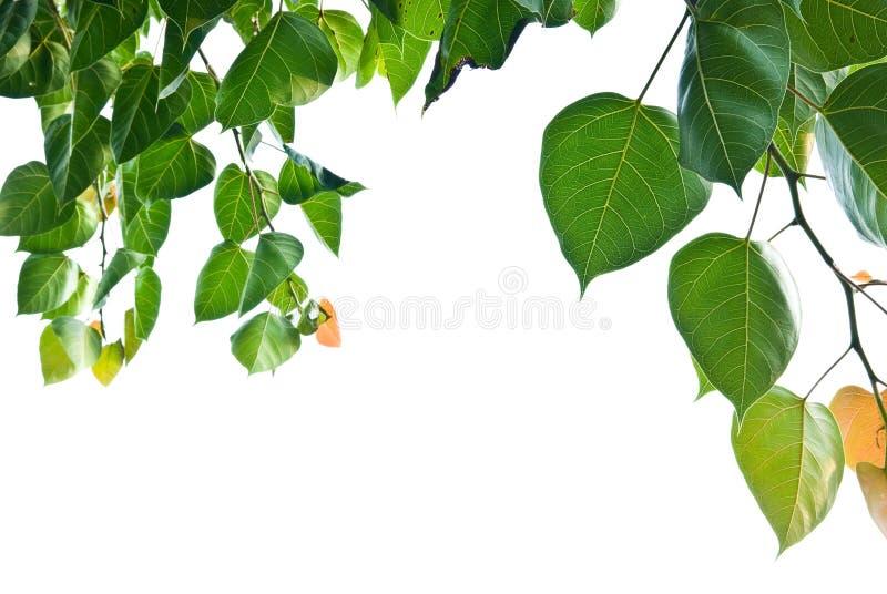 Folha de Bodhi ou de Peepal da árvore de Bodhi foto de stock royalty free
