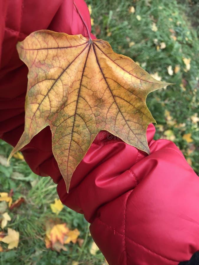 A folha de bordo amarela caiu da árvore na luva do revestimento vermelho imagem de stock royalty free