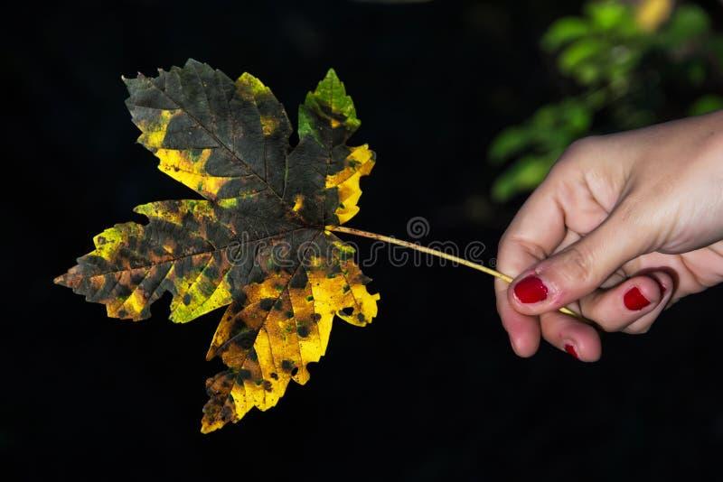 Folha de bordo amarela do outono na mão fêmea no backround escuro imagens de stock