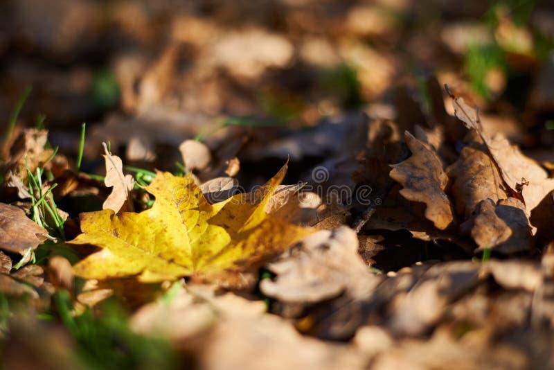 Folha de bordo amarela nas folhas caídas marrons fotos de stock