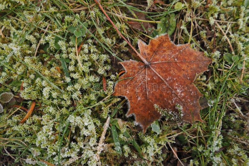 Folha de bordo caída Brown na grama verde coberta com a geada foto de stock