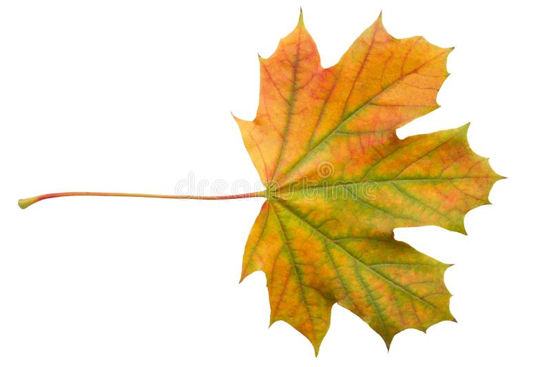 Folha de bordo colorida do outono isolada no fim branco do fundo acima foto de stock