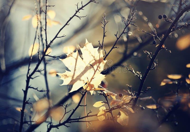 Folha de bordo do outono que caiu e obtém colada nos ramos fotografia de stock