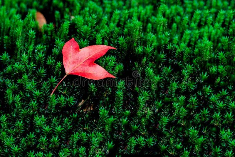 Folha de bordo no musgo na floresta tropical tropical fotos de stock royalty free