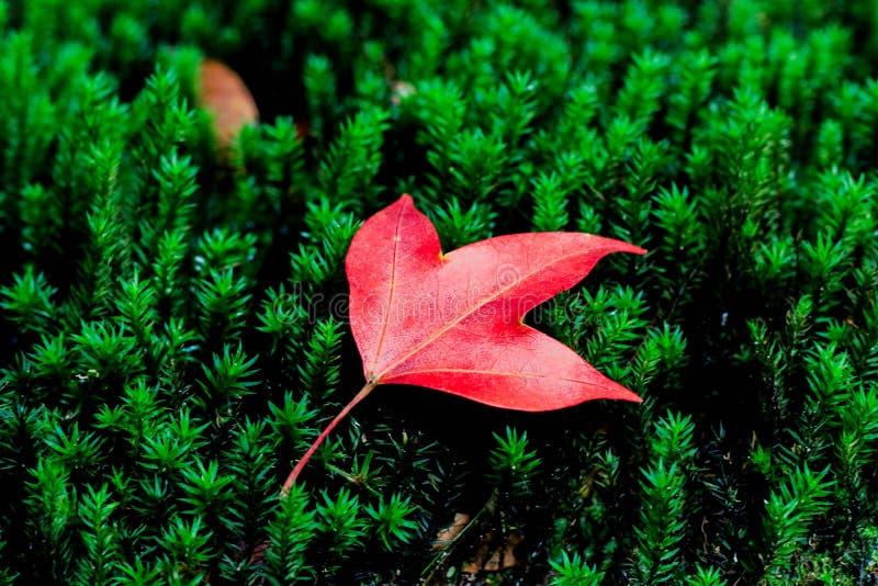 Folha de bordo no musgo na floresta tropical tropical fotografia de stock royalty free