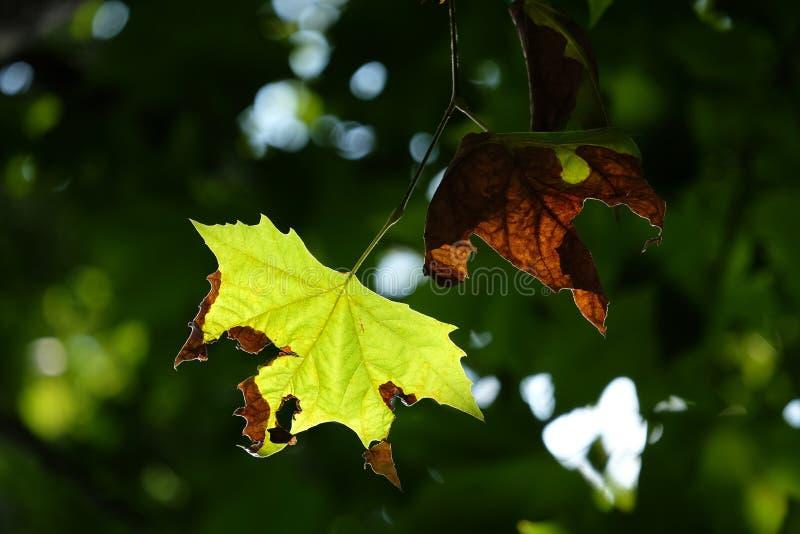 Folha de bordo nova e velha do açúcar com luz do sol da luz suave na manhã e fundo verde obscuro das árvores no frentes fotos de stock royalty free