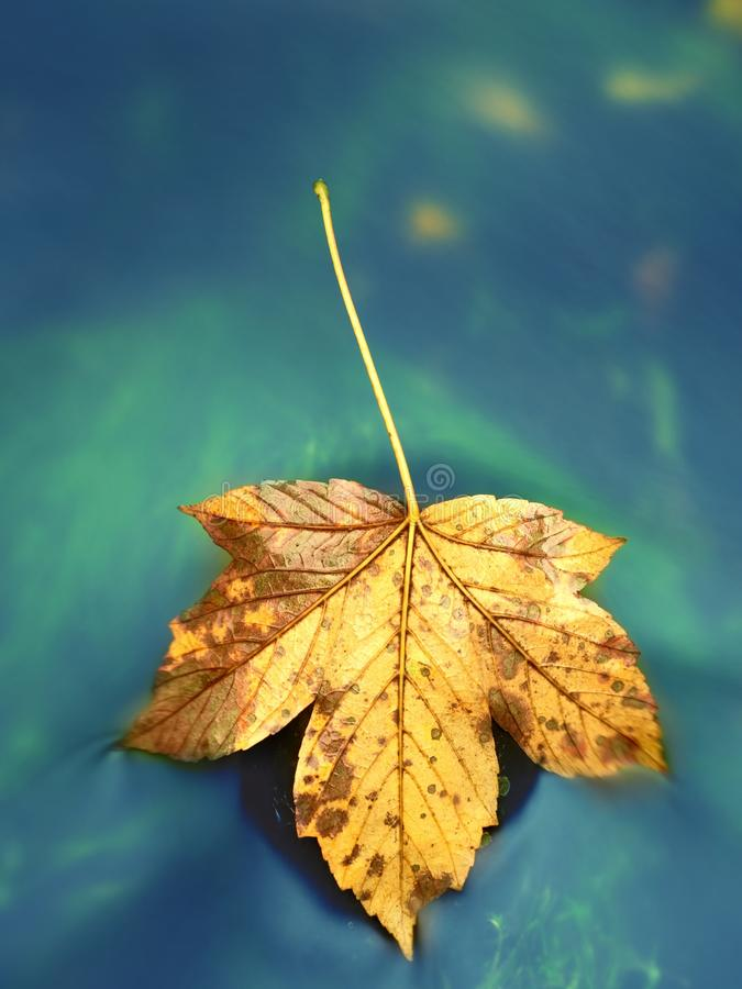 Folha de bordo seca caída na água, vara da folha na pedra no córrego fotografia de stock royalty free