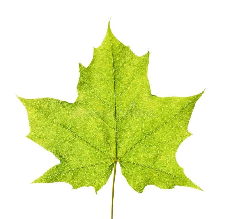 Folha de bordo verde fotografia de stock