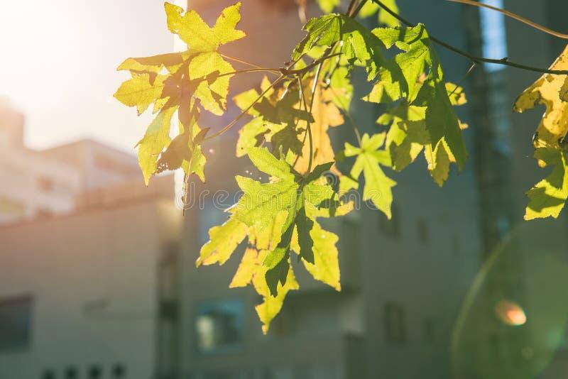 Folha de bordo verde da árvore da cidade na estação de mola da queda fotos de stock