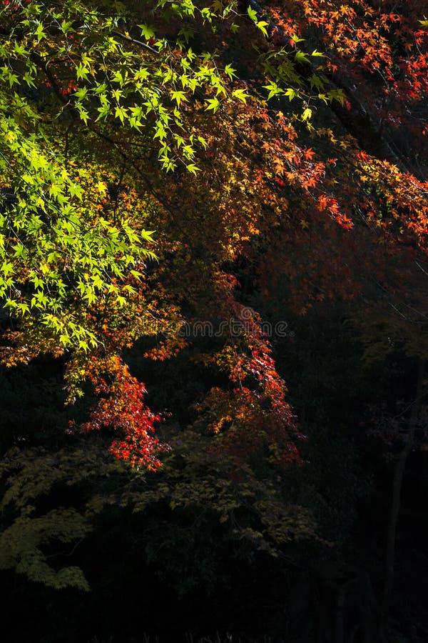 Folha de bordo verde e vermelha imagem de stock royalty free