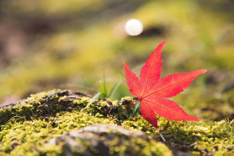 Folha de bordo vermelha de Momiji no musgo e na rocha verdes Natureza e tra imagem de stock