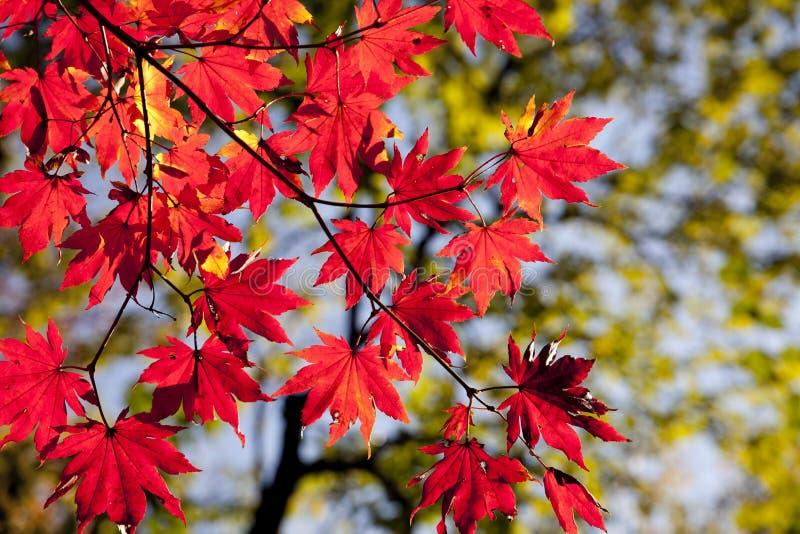 Folha de bordo, vermelho, folha, outono