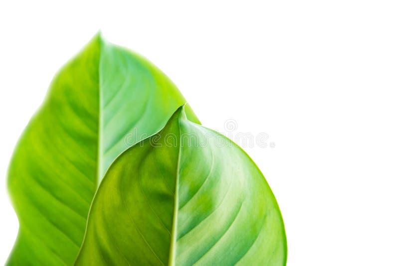 Folha de Calathea, folha tropical exótica, grande folha verde, Dieffe foto de stock royalty free