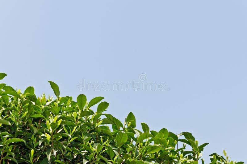 Folha de chá verde imagens de stock