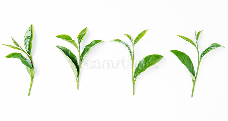 Folha de chá verde isolada no branco imagens de stock royalty free