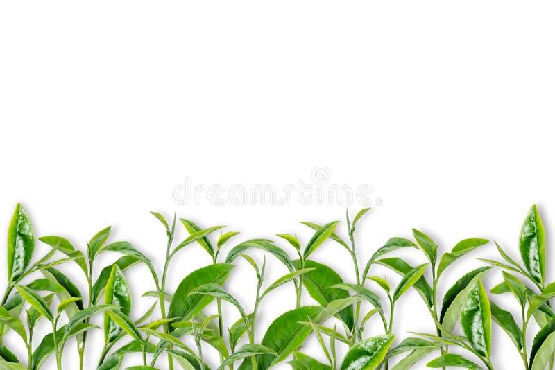 Folha de chá verde no branco imagens de stock royalty free