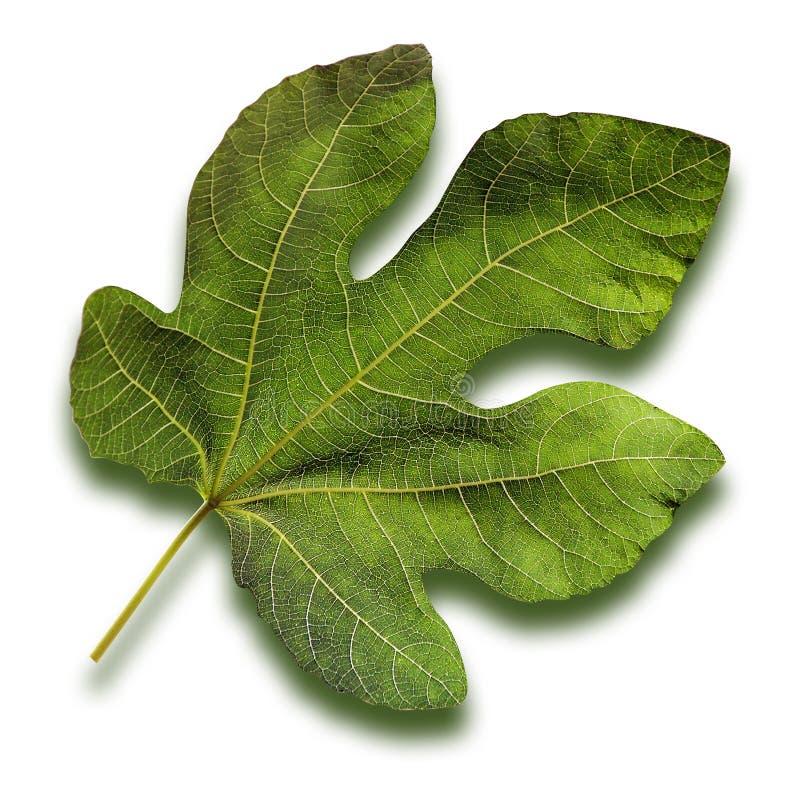 Folha de figo imagem de stock
