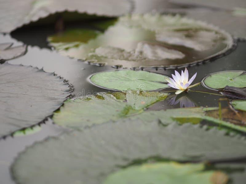 Folha de Lotus branco com o lírio de água afiado do NYMPHAEACEAE dos lótus do Nymphaea dos entalhes fotografia de stock