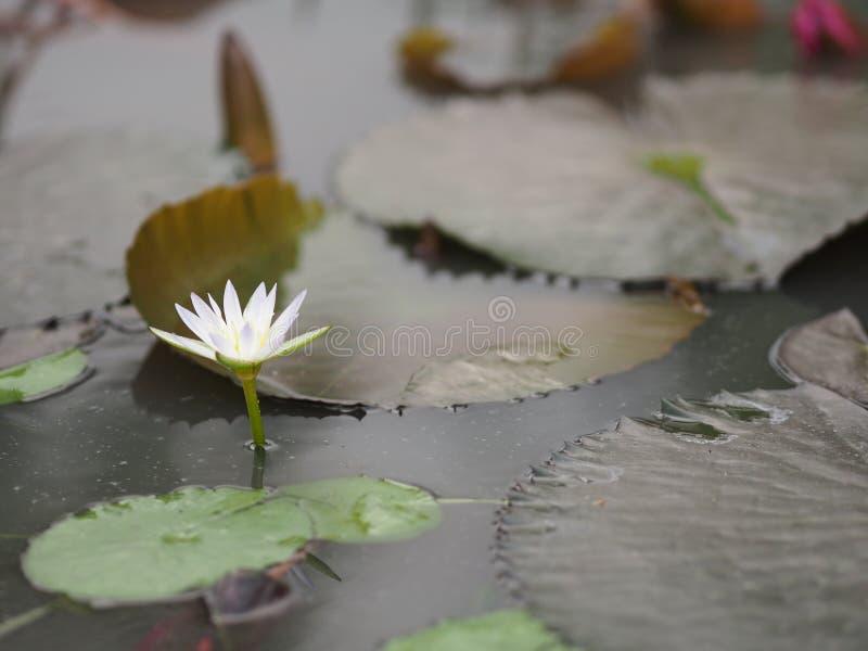 Folha de Lotus branco com o lírio de água afiado do NYMPHAEACEAE dos lótus do Nymphaea dos entalhes fotos de stock