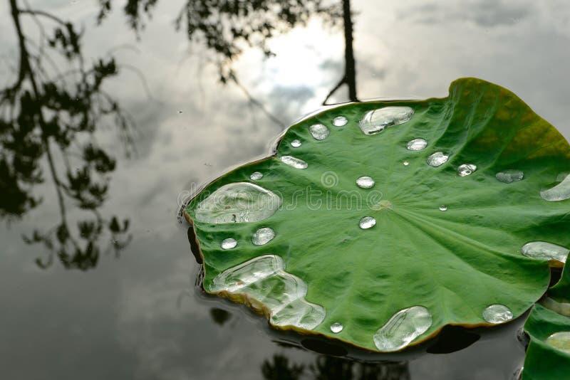 Folha de Lotus com gotas da água imagens de stock