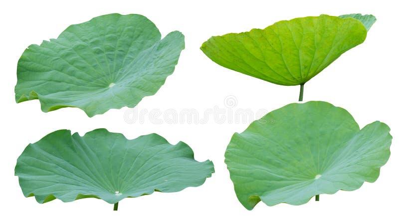 Folha de Lotus isolada no fundo branco, trajeto de grampeamento fotografia de stock royalty free