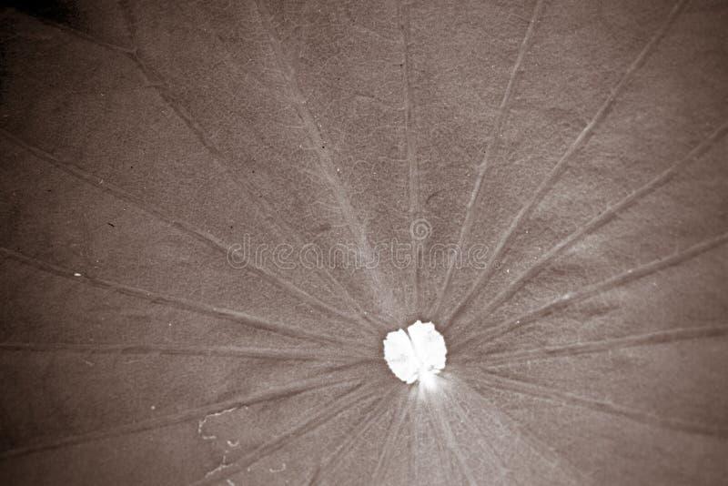 Download Lotus foto de stock. Imagem de elegance, de, lírio, planta - 29833886