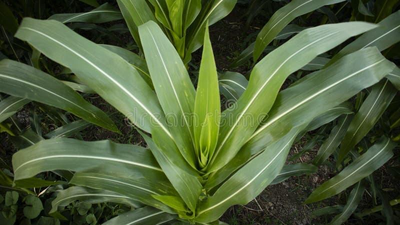 Folha de milho, com um aspecto largo e fértil e com cuidado adequado imagem de stock royalty free