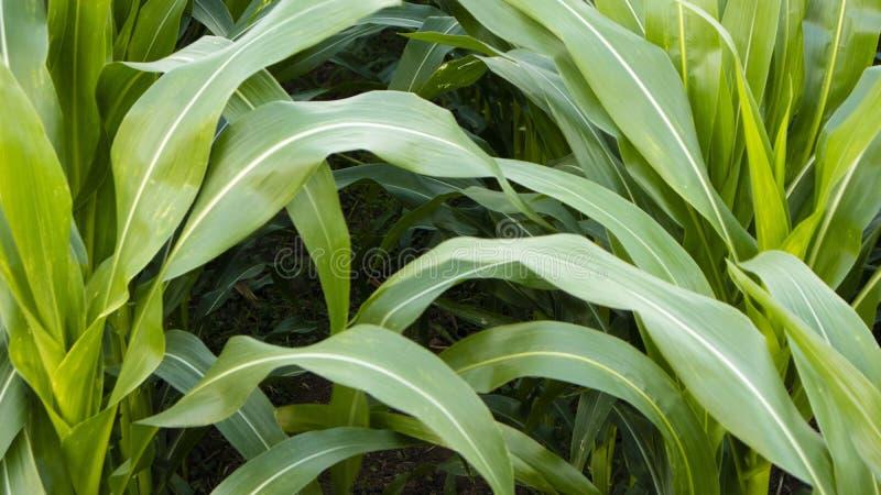 Folha de milho, com um aspecto largo e fértil e com cuidado adequado imagem de stock