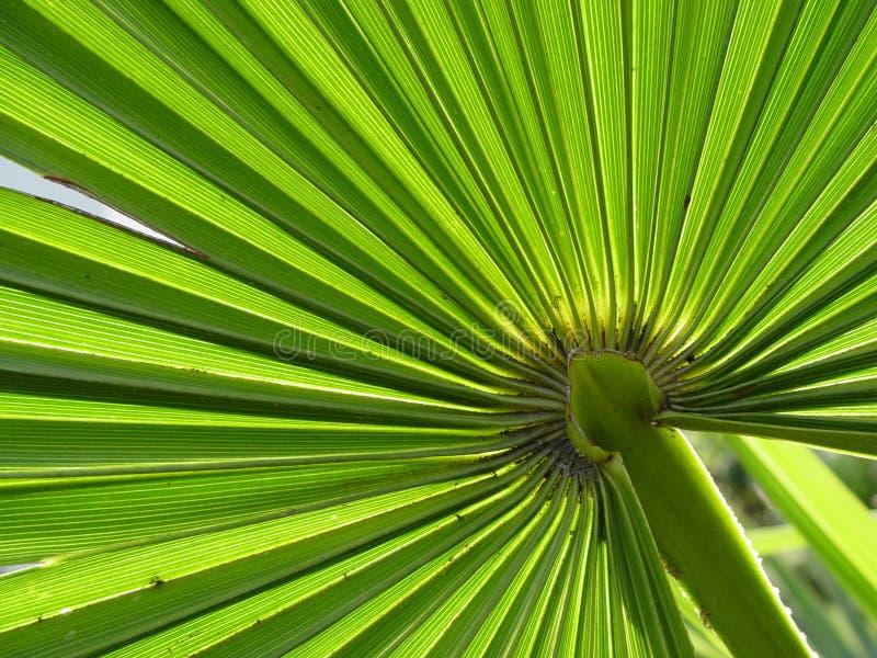 Folha de palmeira imagem de stock