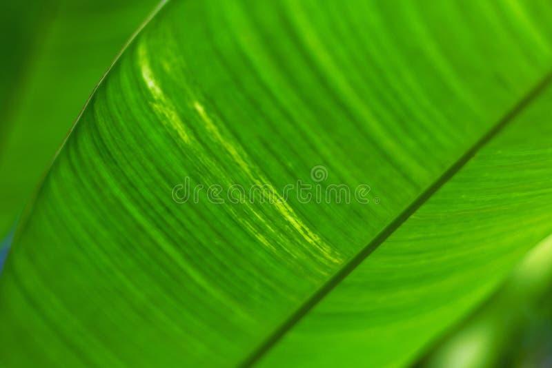 Folha de palmeira brilhante verde, fundo eco-amigável natural e textura imagens de stock royalty free